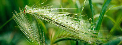 Dew Drops On Barley, San Francisco Print by Panoramic Images