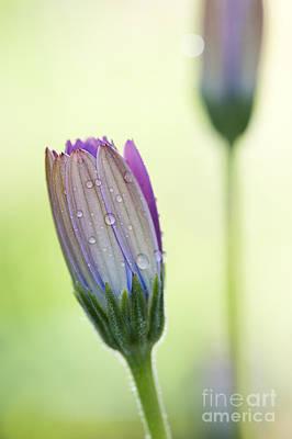 Osteospermum Photograph - Dew Drops On Osteospermum Flower by Tim Gainey