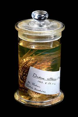 Marine One Photograph - Diadema Antillarum by Natural History Museum, London