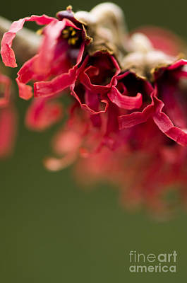 Diana The Hamamelis Print by Anne Gilbert
