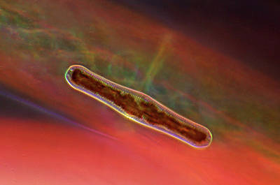 Diatoms Photograph - Diatom by Marek Mis
