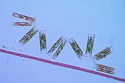 Diatoms Photograph - Diatoms And Cyanobacteria by Marek Mis