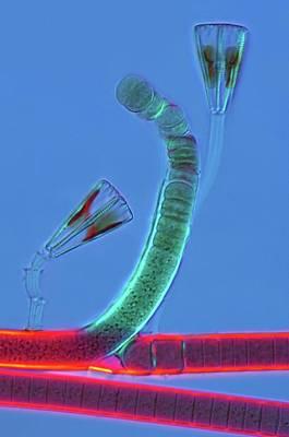 Diatoms And Cyanophyta Print by Marek Mis