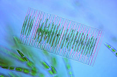 Diatoms Photograph - Diatoms And Green Algae by Marek Mis