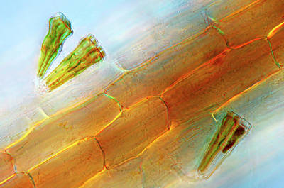 Diatom Photograph - Diatoms On Duckweed by Marek Mis
