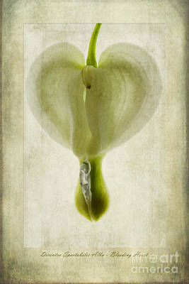 Macro Digital Art - Dicentra Spectabilis Alba by John Edwards