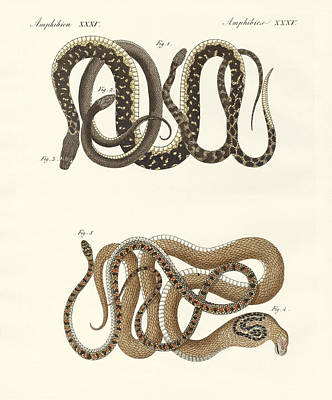 Cobra Drawing - Different Kinds Of Foreign Colubrids by Splendid Art Prints