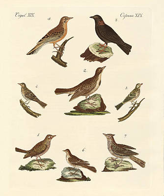 Meadowlark Drawing - Different Kinds Of Larks by Splendid Art Prints