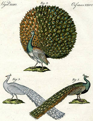 Peacock Drawing - Different Kinds Of Peacocks by German School