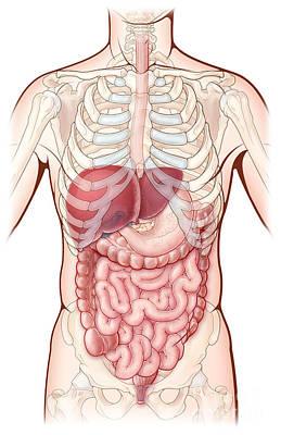 Anatomic Photograph - Digestive System, Illustration by Evan Oto