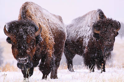 Bison Photograph - Dimensions  by Kadek Susanto