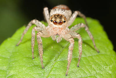 Spider Photograph - Dimorphic Jumper II by Clarence Holmes