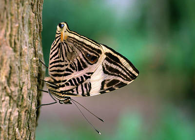 Mosaic Photograph - Dirce Beauty Butterfly by Nigel Downer