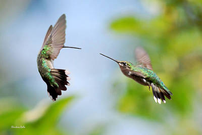 Hummingbird Photograph - Direct Confrontation by Christina Rollo