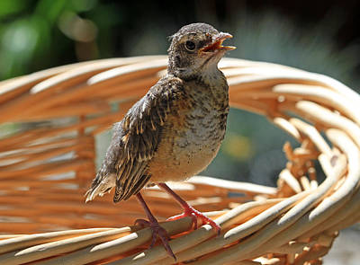 Robin Photograph - Dirty Laundry by Donna Kennedy