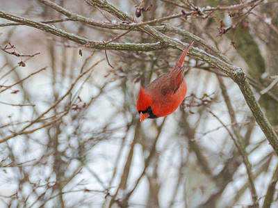 Cardinal Photograph - Diving Cardinal  by Jan M Holden