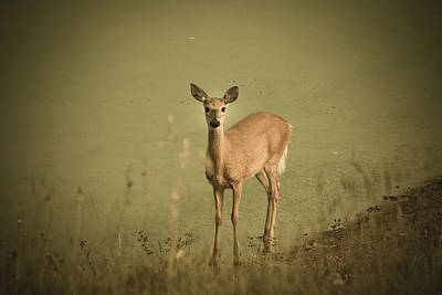 Virginia Photograph - doe by Shane Holsclaw