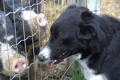 Dog And Pigs Print by Kathy Bassett