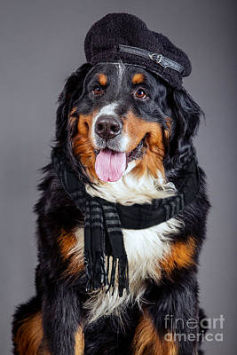 Bernese Mountain Dog Photograph - Dog In Black Scarf And Beret by Aleksey Tugolukov