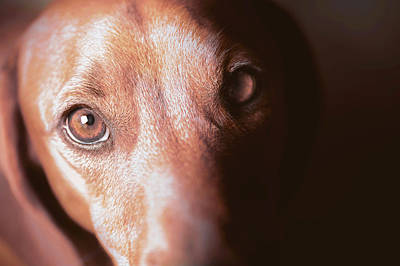 Dog Looking Towards Camera Print by Ktsdesign