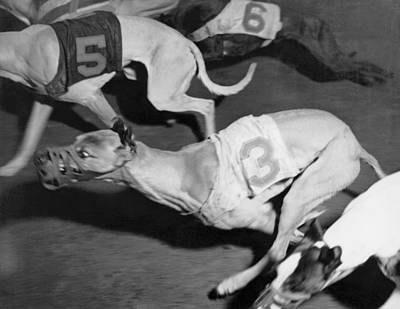 Dog Race Track Photograph - Dog Racing Track by Underwood Archives
