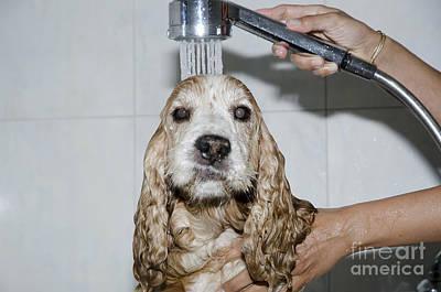 Dog Taking A Shower Print by Mats Silvan