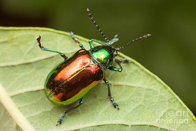 Beetle Photograph - Dogbane Beetle by Clarence Holmes