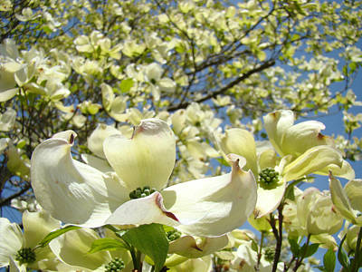 Dogwood Tree Flowering Art Prints Spring White Dogwoods Print by Baslee Troutman
