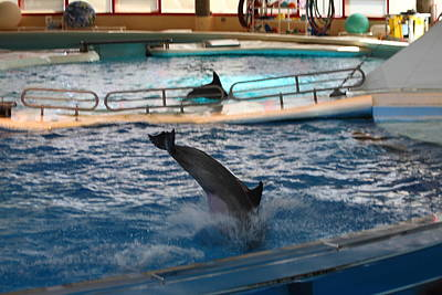Dolphin Show - National Aquarium In Baltimore Md - 1212217 Print by DC Photographer