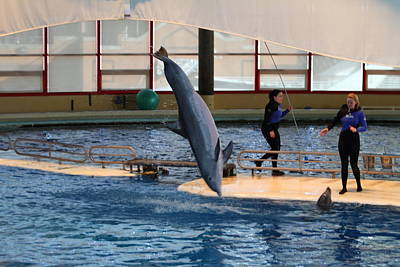 Dolphin Show - National Aquarium In Baltimore Md - 121226 Print by DC Photographer