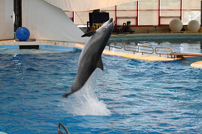 Dolphin Show - National Aquarium In Baltimore Md - 1212263 Print by DC Photographer