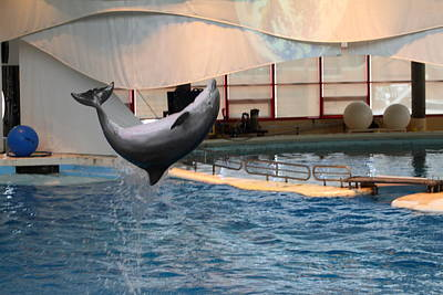 Dolphin Show - National Aquarium In Baltimore Md - 1212265 Print by DC Photographer