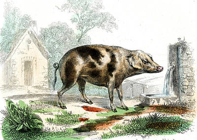 1859 Photograph - Domestic Pig by Collection Abecasis