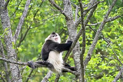Monkey Photograph - Dominant Male Yunnan Snub-nosed Monkey by Tony Camacho