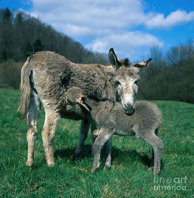 Donkey With Young Print by Hans Reinhard