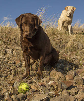 Chocolate Lab Photograph - Dont Move by Jean Noren