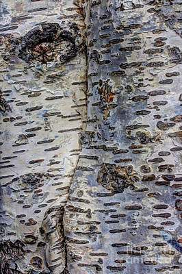 Birch Bark Photograph - Don't Think I Can't See You by Heidi Smith