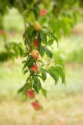 Peach Photograph - Donut Peaches by Iris Richardson
