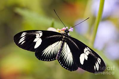 Doris Longwing Butterfly Print by Oscar Gutierrez