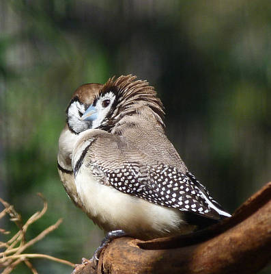 Double-barred Finch Tete-a-tete Print by Margaret Saheed