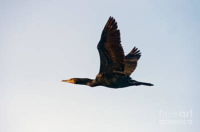 Double-crested Cormorant In Flight Print by Anthony Mercieca