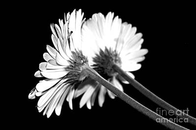 Gerbera Photograph - Double Delight by Clare Bevan