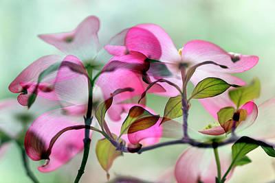 Double Exposure Photograph - Double Exposure Of Pink Dogwood Tree by Adam Jones
