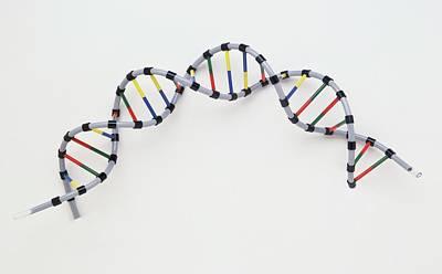 Heredity Photograph - Double Helix Of Human Dna by Dorling Kindersley/uig