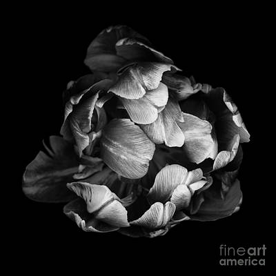 Double Tulip Print by Oscar Gutierrez