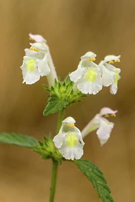 Hemp Photograph - Downy Hemp-nettle (galeopsis Segetum) by Bob Gibbons