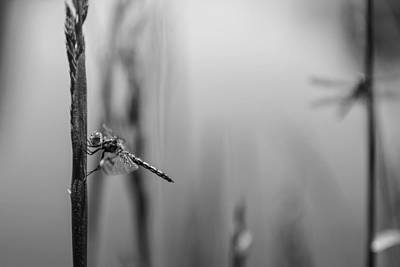 Grey Photograph - Dragonflies by Ayla Skorupa