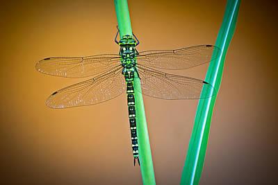 Dragon Fly Photograph - dragonfly Aeshna cyanea by Dirk Ercken