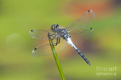 Insects Photograph - Dragonfly And Lily Pads by Clarence Holmes