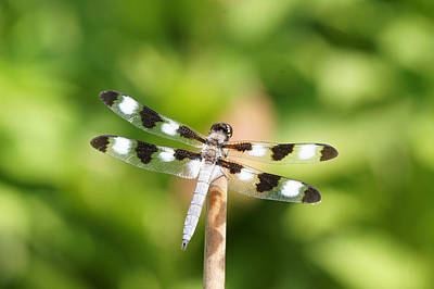 Photograph - Dragonfly On A Stick by Robert E Alter Reflections of Infinity